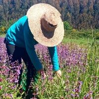 A nosa socia Carmela está recollendo🧺 Sarxa, un dos ingredientes da nosa loción capilar, xa que é un antioxidante natural que fortalece e rexenera a fibra capilar.  Nuestra socia Carmela está recogiendo 🧺 Salvia, uno de los ingredientes de nuestra loción capilar, ya que es un antioxidante natural que fortalece y regenera la fibra capilar.  #muuhlloa #milhulloa_coop #granxamaruxa #cosmeticakm0 #galiciacalidade #galiciamola #aulloa #locioncapilar #problemascapilares #caidadepelo